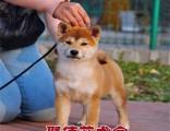 深圳聚德庄犬舍 只为国内繁殖优秀的宠物狗宝宝 柴犬