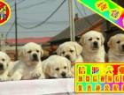 买狗狗就送用品 可签协议见狗父母 拉布拉多
