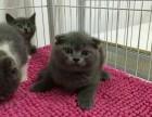 大连蓝白猫多少钱 大连纯种蓝白猫多少钱 大连蓝白猫出售