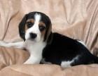 长期繁殖活泼听话比格犬 各类纯种名犬 签协议