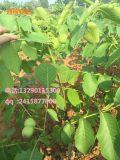 为什么种植核桃树,核桃树的介绍