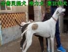 猎犬养殖基地 幼犬出售 惠比特优惠价格 灵提犬 惠比特犬