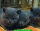 出售蓝猫 折耳猫短毛猫银渐层波斯猫加菲猫金吉拉猫