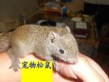 魔王奶鼠 黄山奶鼠