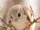 常年出售黑白魔王松鼠,日本大眼萌萌