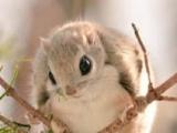 常年出售黑白魔王松鼠,日本大眼