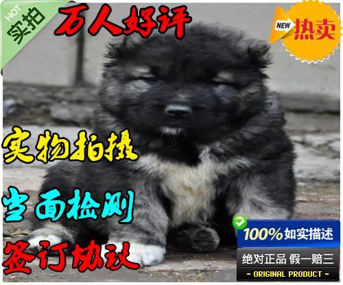 高大威猛 高加索幼犬宝宝 高品质 低价位 终身质保