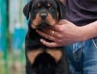 庆国庆 纯种罗威纳犬,专业养殖出售幼犬,加微信可看狗选