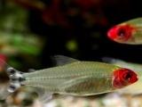 红鼻剪刀鱼 5条/组 2.5-3公分 鱼草缸淡水观赏鱼 热带鱼