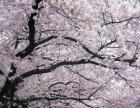 赏武大樱花、游长江汉江、户部巷小吃纯玩高品两日游