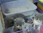 家养英短蓝猫宝宝找新家情人节优惠