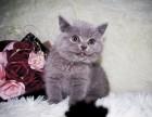成都 英短蓝猫 个个大包子脸地毯毛 活泼粘人 可上门