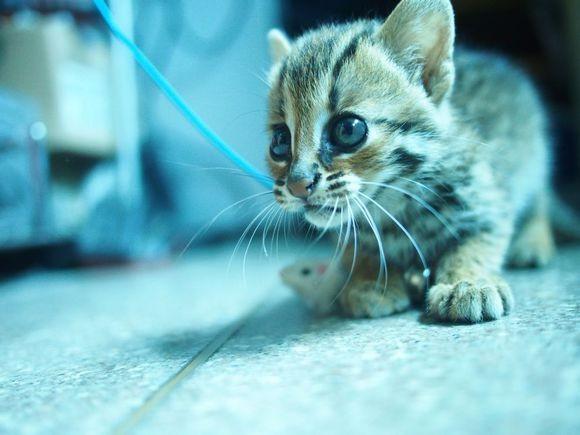 唐山哪里有孟加拉豹猫卖 野性外表温柔家猫性格 时尚 漂亮