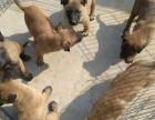 重庆哪有卖马犬的 马犬多少钱一只 马犬价格