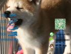 宠物店和狗市里的秋田犬可以买吗 健康的多少钱一只