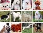无锡专业可三百出售 拉拉比熊 泰迪 博美 金毛 犬品种齐全