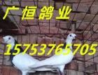 出售元宝鸽 观赏鸽肉鸽种鸽