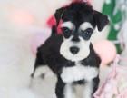 宁波纯种雪纳瑞价格 宁波哪里能买到纯种雪纳瑞犬