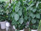 海口的朋友知道发财树怎么种植养护吗?