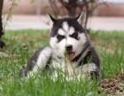 出售西伯利亚哈士奇幼犬 赛级品质健康有保障