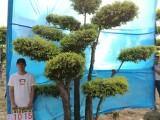 衡水德润景观 金叶榆造型树/庭院景观树/大风景树