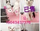 家养猫咪品种多便宜出售