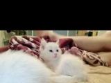 小黄毛 纯白波斯猫100