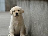 精品拉布拉多 聪明工作犬 大头版 成年帅气可自提