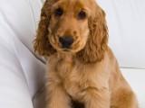 十堰双血统杜宾幼犬 断尾裁耳杜宾 完美身材 纯血统