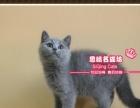 漂亮的纯血英短猫蓝猫小美女3号--《思晴名猫坊》