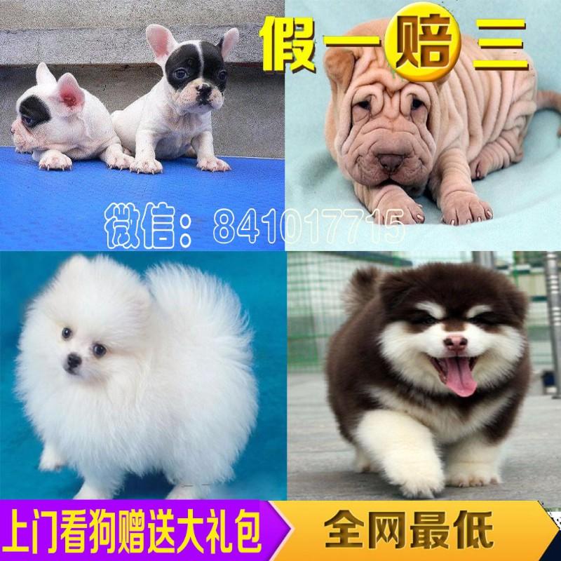 7.5折促销 杭州出售纯种 泰迪 博美 比熊 巴哥 金毛
