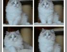 哪里有出售精品宠物布偶猫猫包纯种健康送货上门