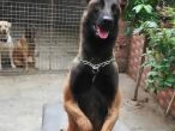 佛山龙威宠物警犬训练学校