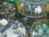 待售:精品2017南海夏季台鸽。