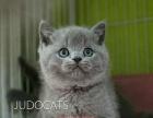 纯种蓝猫猫咪 宠物猫活体蓝猫保健康售后保证纯种蓝猫