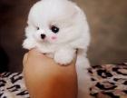 白色小博美犬是自己家里,很是帅气又很拉风的袖珍犬