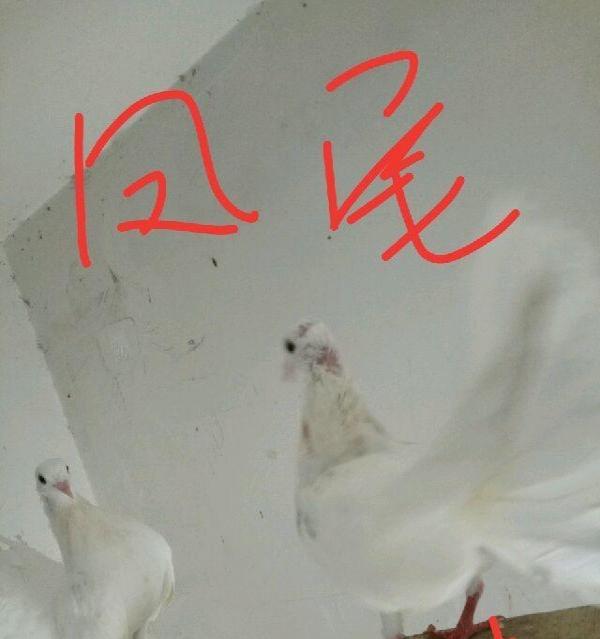 出售,单只元宝公鸽子,观赏鸽子图片