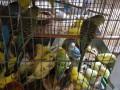 虎皮鹦鹉,珍珠鸟养殖,优质珍珠鸟,虎皮鹦鹉常年全国出售