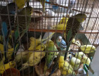 虎皮鹦鹉,珍珠鸟,专业养殖虎皮鹦鹉,珍珠鸟,常年出售