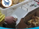 幼禽单针双液自动接种机厂价供应