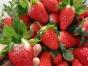 肥城春蜂草莓采摘