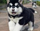 出售阿拉斯加幼犬红色阿拉斯加 阿拉斯加 巨型阿拉斯加
