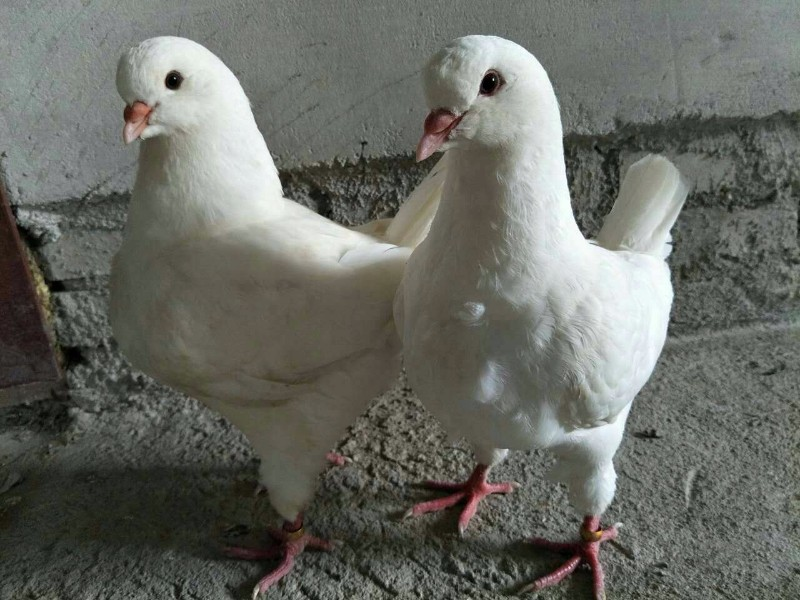 西安大体白色元宝鸽子多少钱一对