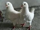 温州大体元宝鸽子多少钱一对