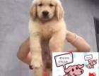 朝阳纯种金毛犬价格 朝阳哪里能买到纯种金毛犬