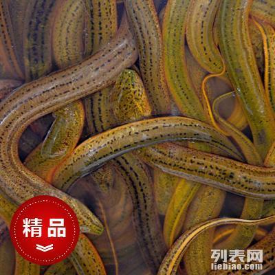 北京市丰台区放生鱼低价批发 求购放生鱼泥鳅 购买放生鱼鲤鱼苗