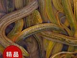 北京市豐臺區放生魚低價批發 求購放生魚泥鰍 購買放生魚鯉魚苗