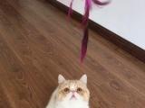 自己家养的加菲猫妹妹
