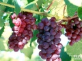 新鲜葡萄即将上市