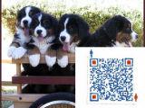 哪里出售伯恩犬哪里出售伯恩犬 伯恩犬价格